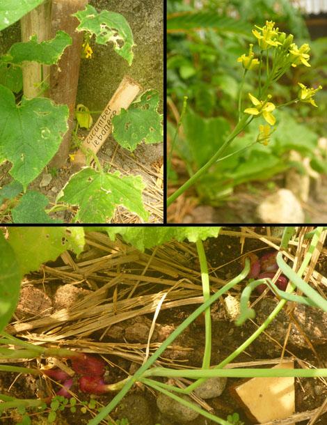 cucumber, flowering mustard, onions