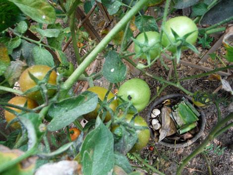Salah satu eksperimen kompos. Buat teralis bambu hingga menyerupai kandang untuk jalaran tomat. Di bagian tengah, gali lubang untuk meletakkan ember/pot yang sudah dibolongi sekelilingnya — ini jadi wadah pembuangan sampah organik yang sesekali disirami cairan kotoran sapi. Tanam bibit tomat di keempat sudut. Dalam tiga bulan, eksperimen ini sudah menghasilkan panen puluhan tomat.