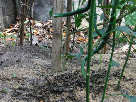 Di belakang itu terlihat salah satu pojok pembuangan sampah organik di kebun kami.